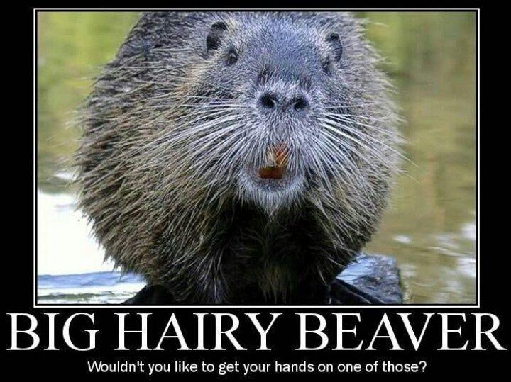 Funny Beaver Sayings Facebook