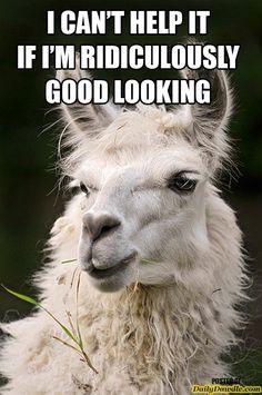 Llama Captions Pinterest